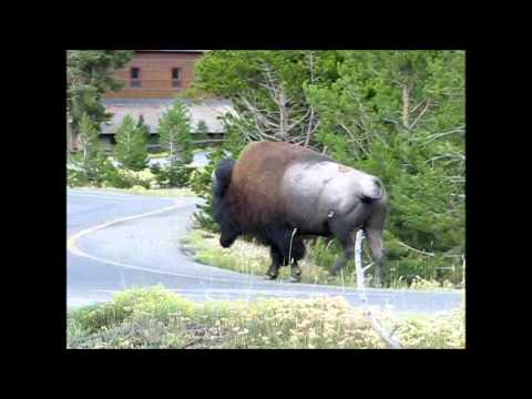 Bison at Old Faithful - Yellowstone Park