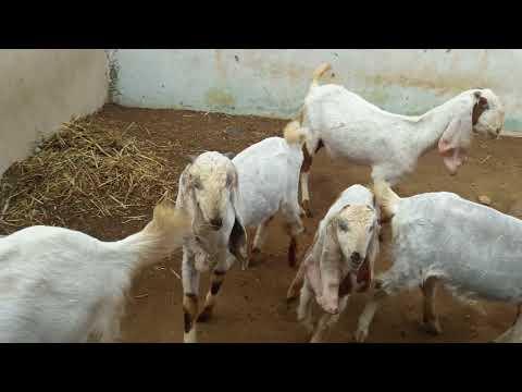 Hyderabad APQ goat farms hyderabad TELANGANA india(1)