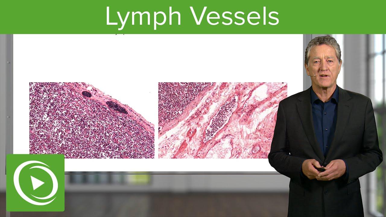 Lymphatic Vessels Afferent Amp Efferent Vessels Histology
