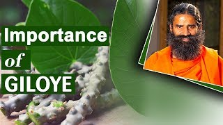 Amazing Benefits of Giloy | Swami Ramdev