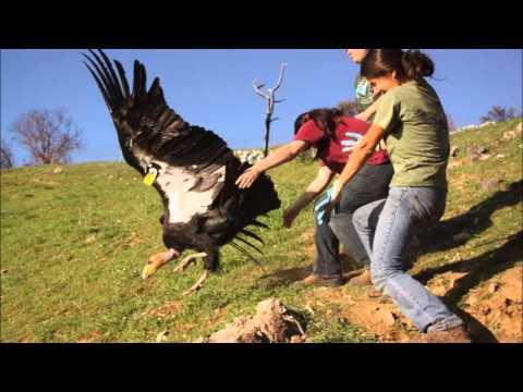 California Condors Big Sur Intreview
