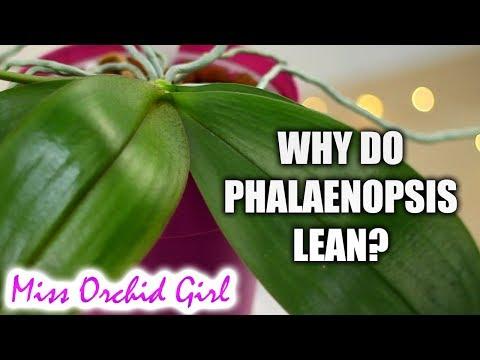 Why do Phalaenopsis
