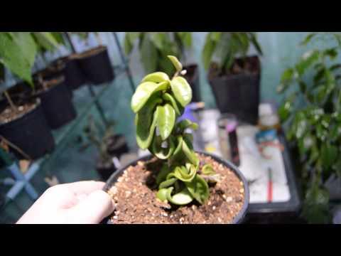 Planta Hoya la planta Carnosa Flores de Vela