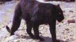vuclip panthere noir