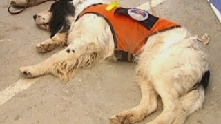 Sniffer Dog Exhausts Itself In China Earthquake Relief Work