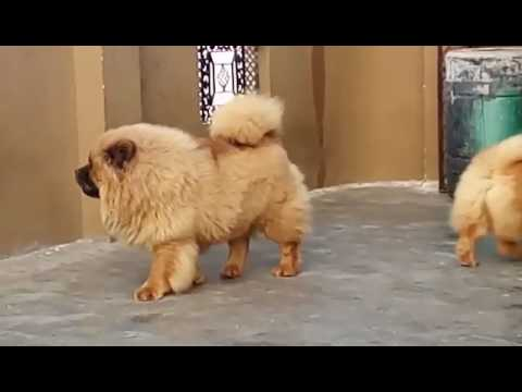 CHOW CHOW PUPS SALE9540809687/99713312501257/ 9212501257. visit us : www.testifykennel.co.in