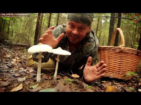 Гриб-зонтик сосцевидный - лесной деликатес! www.grib.tv