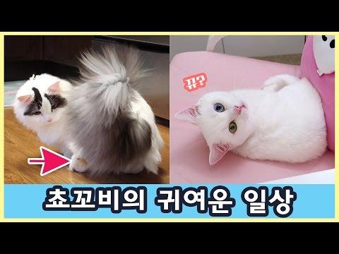 꼬부기 쵸비의 귀여운 순간들 - 고양이 짧은 영상 모음