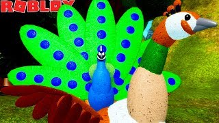 PEACOCK LIFE! MACHO TRYING TO CONQUER THE FEMALE! -ROBLOX Feather Family | * For Children * 🦅