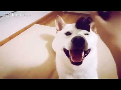 Funny makeup dog | Funny and cute dog compilation | dogs and cats moments | Shiba inu