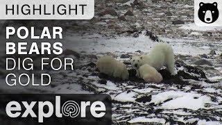 Digging For Gold - Polar Bears Live Cam Highlight 10/27/17