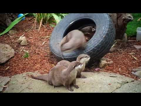 Small clawed otters @ National Zoo & Aquarium, Canberra, 2017.