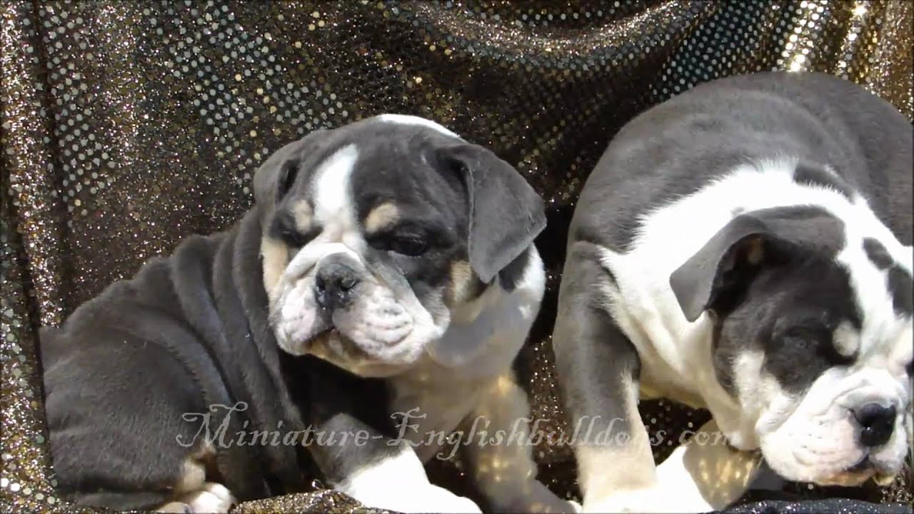 Miniature Blue English Bulldog Puppies