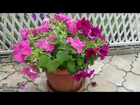 Как правильно прищипывать петунию для обильного цветения видео