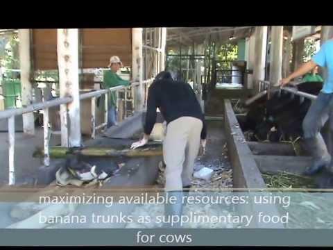 Video Chris Dalangin Dairy Farm Worker Philippines