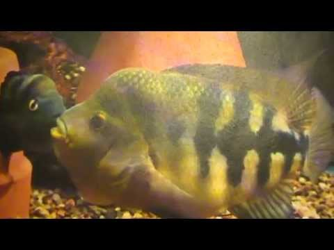 The Midas Cichlid Evolutionary History of a Species Pt. 3