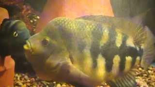 The Midas Cichlid Evolutionary History of a Species Pt. 3