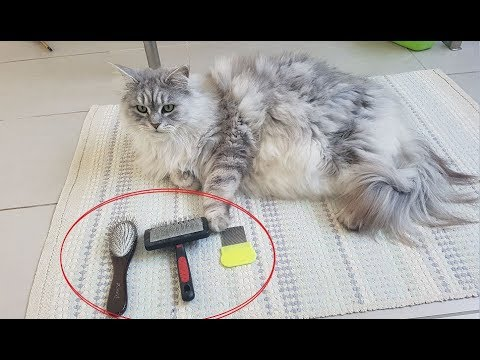 Best Brushes For Long-Haired Cats (Maine Coon)