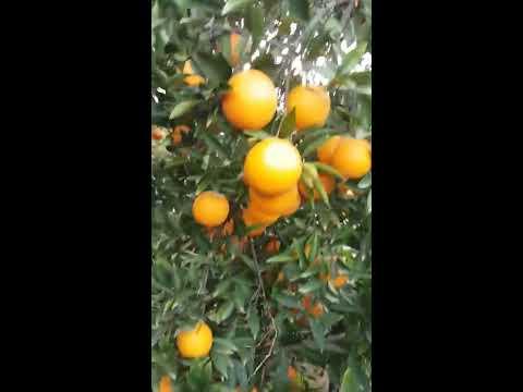 Orange farm in the Mediterranean part of Turkey