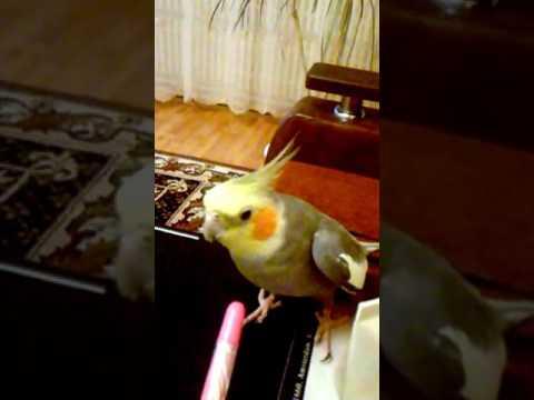 Смешное видео Говорящий попугай - Петруша хороший мальчик