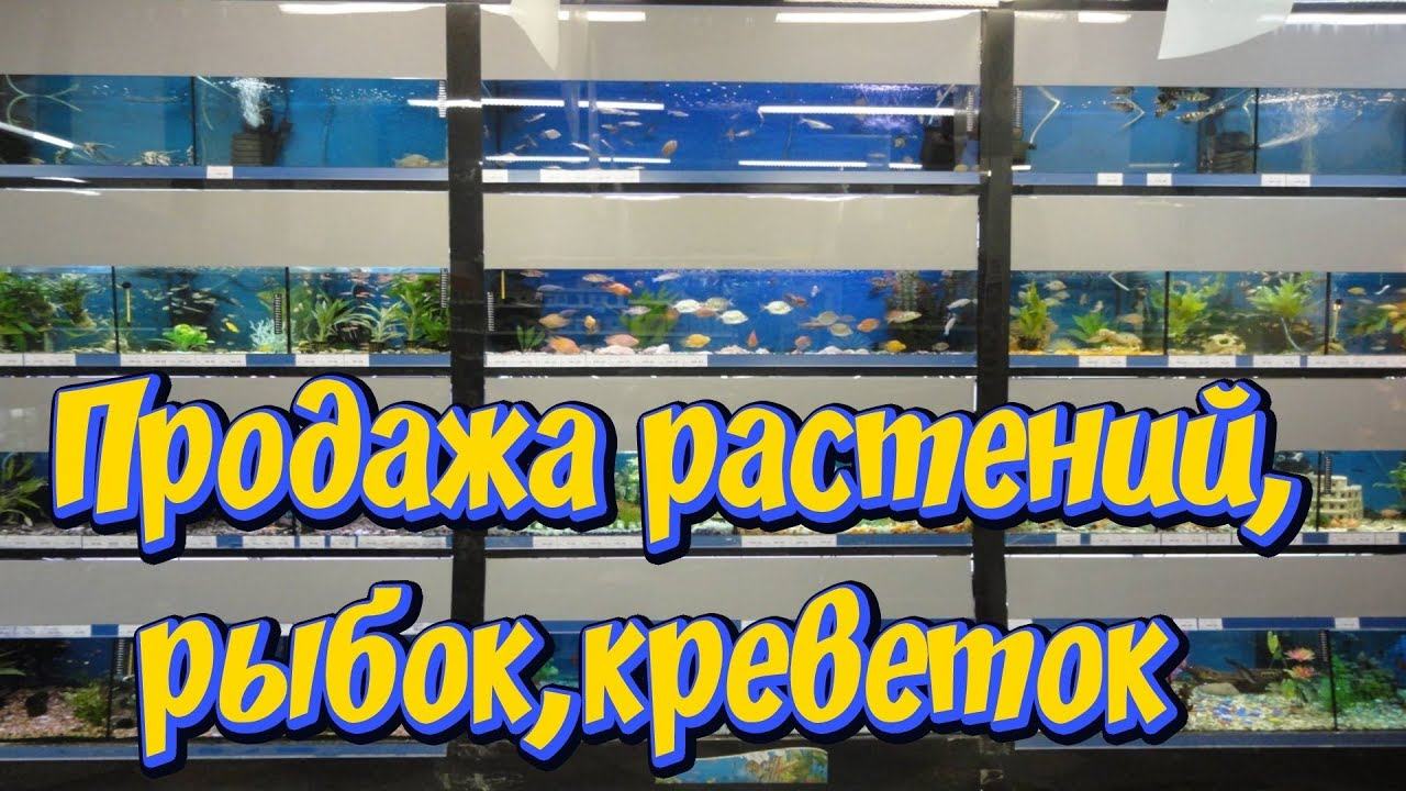 Объявления о продаже аквариумных рыбок в балашихе: гуппи, розовые данио, неоны, сомики, меченосцы, барбусы. Голубые аквариумные креветки.