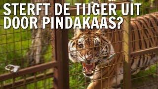 Sterft de tijger uit door pindakaas?   De Buitendienst over Palmolie