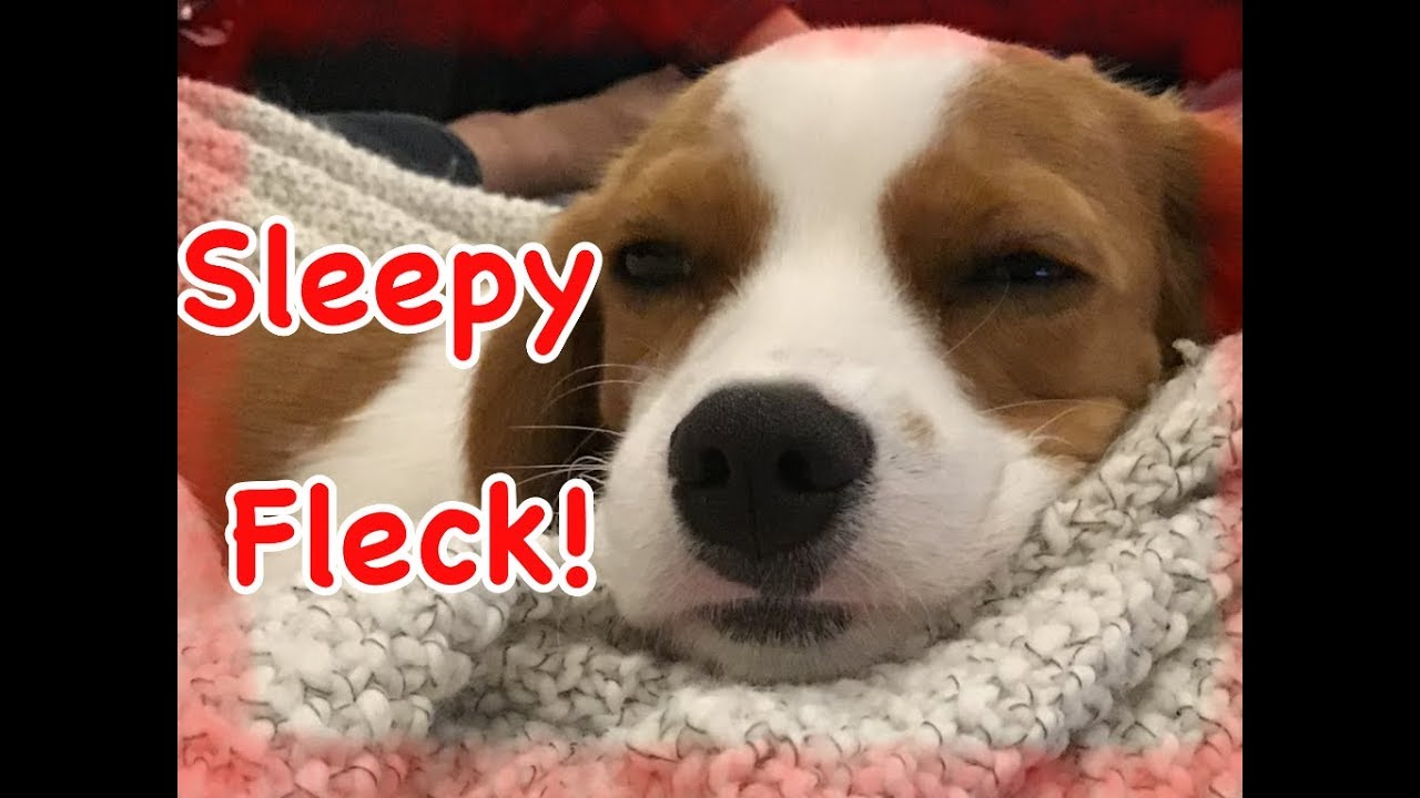 Sleepy Fleck Cute Dog Video Youtube