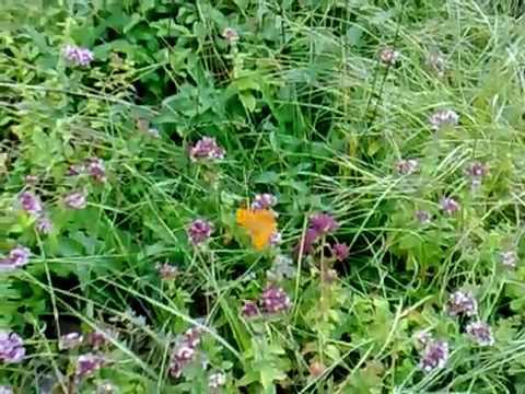 Schmetterlingswiese Heidenheim a.Brenz  (Zanger Berg)