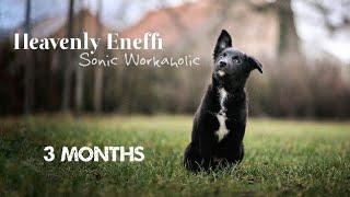 Eneffi Border Collie | 3 months