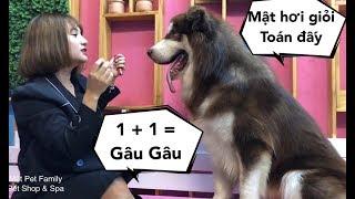 Chó Mật học giải toán , thần đồng đây rồi ha ha ha