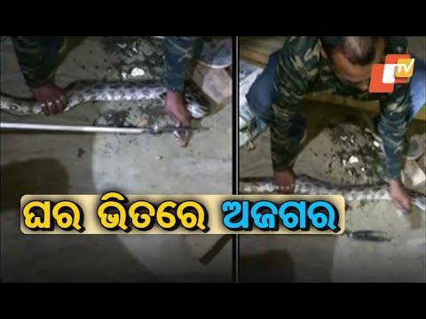 10-Feet Python Snake Rescued In Balasore