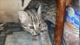 Погром в комнате,  котята дальневосточного лесного кота.МАГИЯ И ШАМАН подросли.