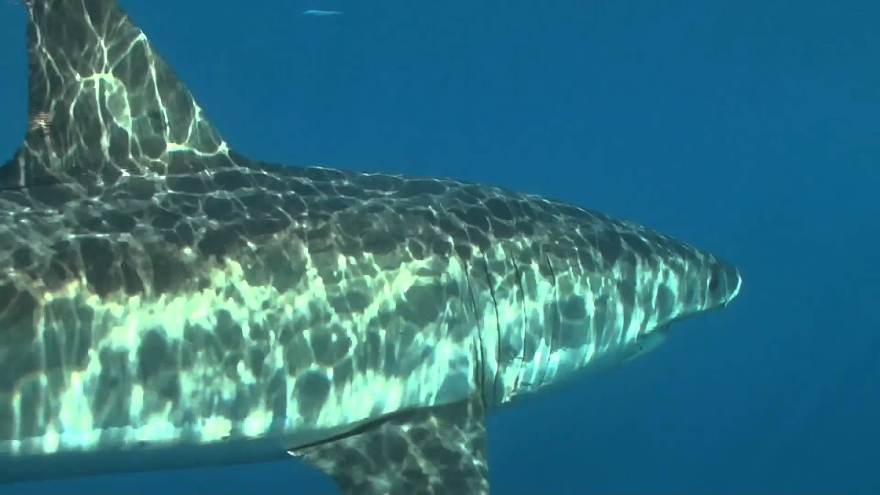Guadalupe Island - Great White Sharks