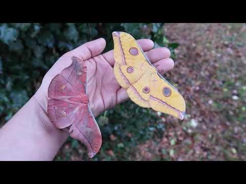 beautiful-moth-friends:-antheraea-jana