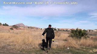 Gun Dog Labrador Retriever Training