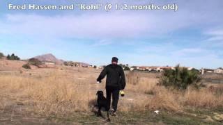 Gun Dog Labrador Retriever Training