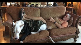 Funny Great Danes Argue Over the Sofa