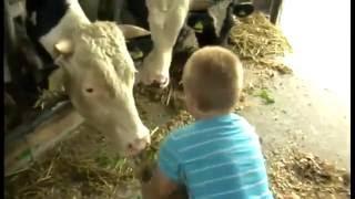 Karmienie Krów Trawą w Oborze Na Gospodarstwie Na Polskiej Wsi - Hodowla Krów