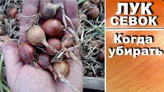 Как вырастить лук севок самостоятельно  Когда убирать лук севок