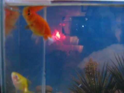 Goldfish Blowing Bubbles - Lionhead