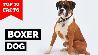 Boxer Dog  Top 10 Facts