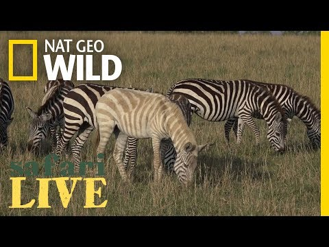 Why Is This Zebra Unusually Pale? | Nat Geo Wild