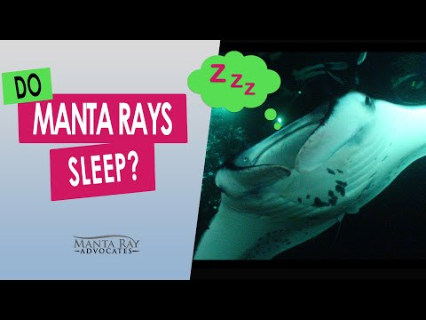 do-manta-rays-sleep?---kona,-hawaii