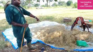 How to teach your goats on how to eat hay and silage by hamiisi semanda +256773343283
