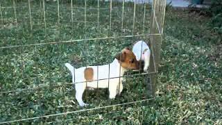 camada jacks russell terrier pata corta.