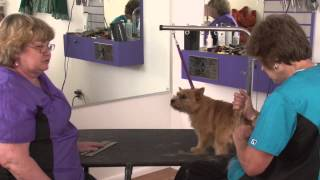 Resurrecting A Blown Coat On A Norwich Terrier With Sarah Hawks & Margery Good