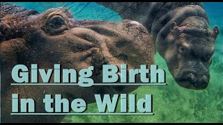 Animals giving birth in the wild