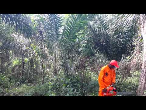Timberpro Chainsaw in use in Nigeria at Item Agri oil palm plantation 20150326 091930