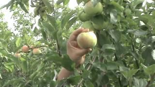 видео Сорт яблони: Братчуд