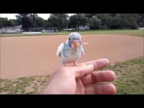 Parakeet Budgie Baby Baby Parakeet Budgie Free